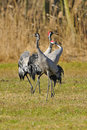 Common crane courtship in the spring germany Stock Images
