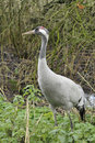 Common Crane - Grus grus Royalty Free Stock Photo