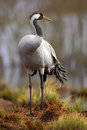 Common Crane, Grus grus, big bird in the nature habitat, Lake Hornborga, Sweden Royalty Free Stock Photo