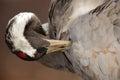 Common Crane, Grus grus, detail portrait, big bird in the nature habitat, Lake Hornborga, Sweden Royalty Free Stock Photo
