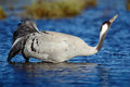 Common Crane, Grus grus, drinking water, big bird in the nature habitat, Lake Hornborga, Sweden Royalty Free Stock Photo