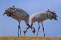 Common Crane, Grus grus, feeding grass, two big bird in the nature habitat, Lake Hornborga, Sweden Royalty Free Stock Photo