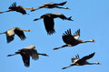 Common crane large flock of in the agamon hula tourism park bird watching sites and observe migrating courting and nesting birds Royalty Free Stock Photography
