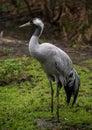 Common Crane In The Nature