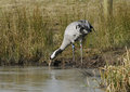 Common crane reintroduced grus grus feeding by frozen lake Stock Photos