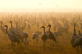 Common cranes Royalty Free Stock Image