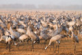 Common cranes Stock Image