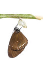 The common crow butterfly emerge from pupa on white background Stock Photography