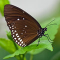 Common Crow (Euploea core) Stock Images
