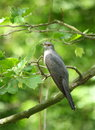 Common cuckoo Stock Photography