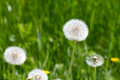 Common dandelion dandelions growing on a lawn Royalty Free Stock Image