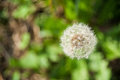 Common dandelion head seeds in uncultivated field Royalty Free Stock Photo