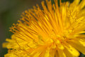Common dandelion macro photografhy of yellow Stock Photography