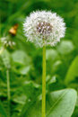 Common dandelion seed head. Royalty Free Stock Photos
