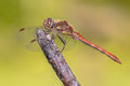 Common darter dragonfly perched on stick Royalty Free Stock Photo