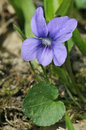 Common dog violet viola riviniana flower and leaf Royalty Free Stock Image