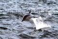 Spoločný delfín porušenie