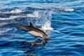 Spoločný delfín skákanie mimo oceán