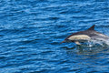 Common dolphin pics of delphinus delphis taken while whale watching near hermanus south africa Stock Image