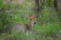 Common duiker sylvicapra grimmia the also known as the grey or bush in kruger national park south africa Stock Photography