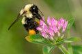 Common Eastern Bumblebee Royalty Free Stock Photo