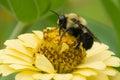 Common Eastern Bumblebee Royalty Free Stock Photo