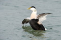 Common eider flapping his wings in the water Royalty Free Stock Photos