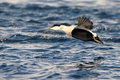 Common Eider flying Royalty Free Stock Photo