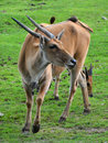 The common eland Royalty Free Stock Photo