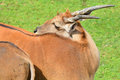 The common eland, also known as the southern eland Royalty Free Stock Photo