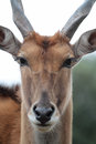 Common eland a close up portrait Royalty Free Stock Photos