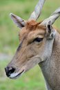 Common eland face Stock Photos