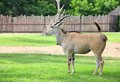 Common eland relax. Stock Photo