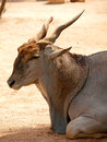 Common eland (Taurotragus Oryx) Stock Photography
