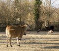 Common Eland (Taurotragus oryx) & Ostrich (Struthio camelus) Royalty Free Stock Photo