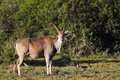 Common Eland (Taurotragus oryx) Royalty Free Stock Photo