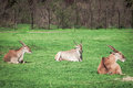 The Common Eland - world`s largest antelopes laying in the grass. Royalty Free Stock Photo