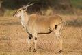 Common Eland (Tragelaphus oryx) Royalty Free Stock Photo