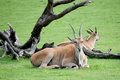 Common Elands Royalty Free Stock Photo