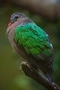 Common emerald dove x chalcophaps indica x wildlife animal Stock Images