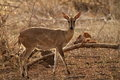 Common female duiker standing in the veld sylvicapra grimmia kruger national park south africa Stock Images