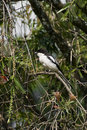 Common Fiscal Shrike Royalty Free Stock Photography