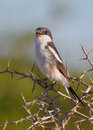 Common Fiscal Shrike Stock Image