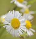 Common fleabane flower of the ergeron philadelphicus Royalty Free Stock Image
