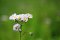 Common fleabane this plant is a naturalized plant in japan Royalty Free Stock Image