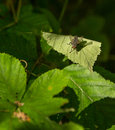 Common flesh fly on leaf a sarcophaga carnaia resting a basks under a sun ray which manages to filter through the thick riverine Stock Image