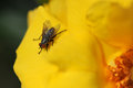 Common Fly on Yellow Flower Stock Photo