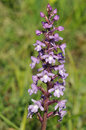 Common fragrant orchid gymnadenia conopsea Royalty Free Stock Images