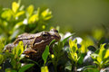 Common frog on buxus bush Royalty Free Stock Photo