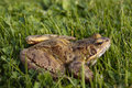Common frog closeup on grass Stock Photo